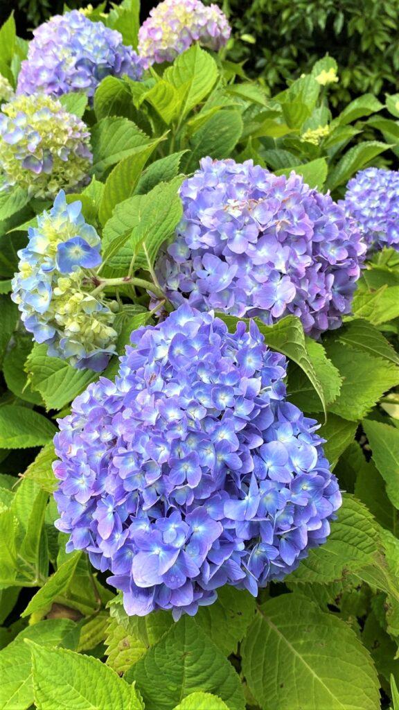 万葉公園の紫陽花